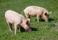 Domestic pig. Dirty domestic pig on green grass Royalty Free Stock Photo