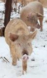 Domestic pig Stock Photos