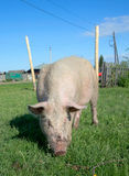 Domestic pig Royalty Free Stock Photography