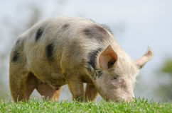 Domestic pig Stock Images