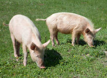 Domestic pig. Dirty domestic pig on green grass Royalty Free Stock Photography