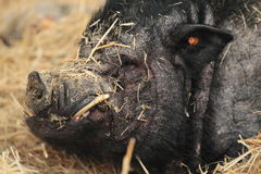 Domestic pig. The detail of domestic pig royalty free stock photography