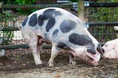 Domestic pig. Big pig. pig on a farm Stock Photos