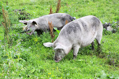 Domestic pig and calf. Royalty Free Stock Photo