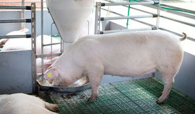 Domestic pig eating from self feeder Stock Photography