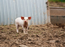 Domestic Pig farming. A farmers baby piglet in front of its sty at a pig farm Stock Image