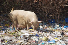 Domestic pig feeding in dump Royalty Free Stock Photography