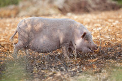 Domestic pig mammal outdoor in summer Royalty Free Stock Images