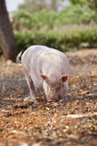 Domestic pig mammal outdoor in summer Stock Photography
