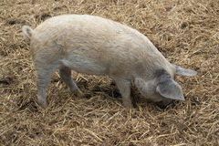 Domestic Pig and manure Stock Photos