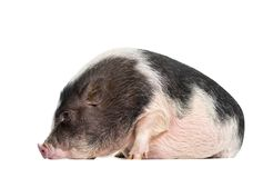 Domestic Pig, 6 months old, lying in front of white background. Domestic Pig, 6 months old, lying in front of white royalty free stock photography