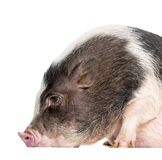 Domestic Pig, 6 months old, lying in front of white background. Domestic Pig, 6 months old, lying in front of white royalty free stock images