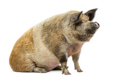 Domestic pig sitting and looking away, isolated