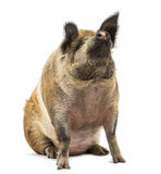 Domestic Pig sitting and looking up, isolated Stock Image