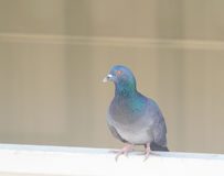 Domestic pigeon actions on window. Of building background Royalty Free Stock Photos