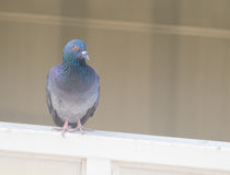 Domestic pigeon actions on window. Of building background Stock Photography