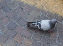 domestic pigeon bird animal Stock Photos