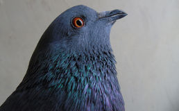 A domestic pigeon Stock Image