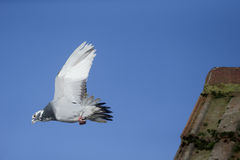 Domestic pigeon, Columba livia domestica Stock Photos