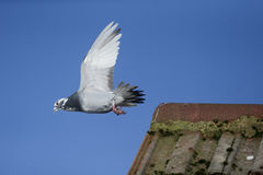 Domestic pigeon, Columba livia domestica Royalty Free Stock Image