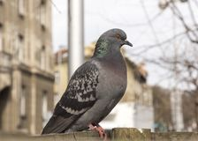 Domestic pigeon in the city Royalty Free Stock Image