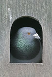 Domestic pigeon,  Columba livia Stock Image