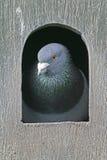 Domestic pigeon,  Columba livia Stock Images