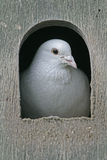 Domestic pigeon,  Columba livia Royalty Free Stock Photo