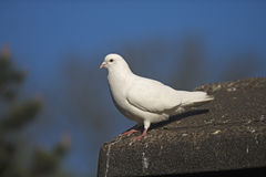 Domestic pigeon,  Columba livia Royalty Free Stock Image