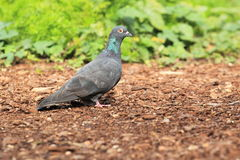 Domestic pigeon Stock Photo