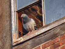 A domestic pigeon in the window Royalty Free Stock Photography