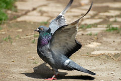 Domestic pigeon Stock Images