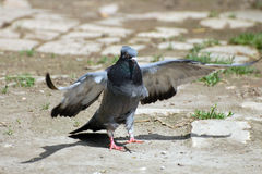 Domestic pigeon Royalty Free Stock Photos