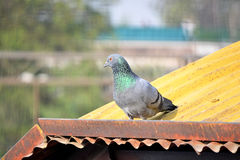 Domestic pigeon on the shed of railway station. Domestic pigeon sitting on the shed of Railway Station New Delhi India stock photography
