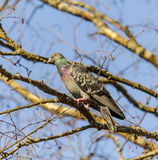 Domestic pigeon. Sitting in a tree royalty free stock photography