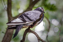 Domestic pigeon in the tree. Grey domestic pigeon in the tree royalty free stock image