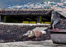 Domestic pigeons sitting on the roof Royalty Free Stock Photography