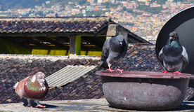 Domestic pigeons sitting on the roof Royalty Free Stock Photos