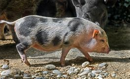 Domestic piglet 1 Royalty Free Stock Image