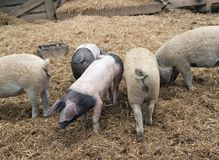 Domestic Pigs. High angle shot showing some domestic pigs in rural ambiance Stock Image
