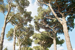 Domestic pines royalty free stock photo