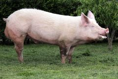 Side view photo of a young domestic pig sow on animal farm summe. Domestic pink colored sow graze on pasture summer time Stock Photos