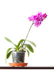 Domestic pink orchid flower in pot isolated on white Royalty Free Stock Photos