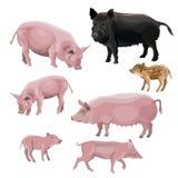 Domestic pig vector royalty free illustration