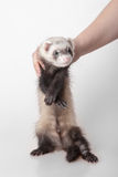 Domestic polecat Royalty Free Stock Photography