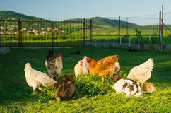 Domestic poultry and rabbits eating grass together. In a yard with hills in the background Stock Images