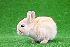 Domestic rabbit Royalty Free Stock Images