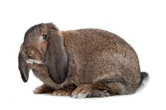 Domestic rabbit Stock Photo
