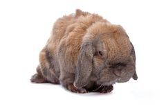 Domestic rabbit Royalty Free Stock Photos