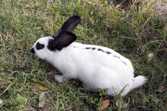 A domestic rabbit Stock Photo